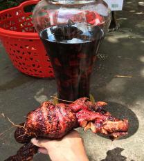 Rễ Mú Từn Tươi- Sơn La 1kg