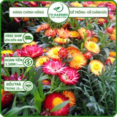 Hạt Giống Hoa Cúc Bất Tử Mix Nhiều Màu TH Garden – Hạt Giống Dễ Trồng Dễ Chăm Sóc, Hoa Thơm, Bền Màu, Lâu Tàn