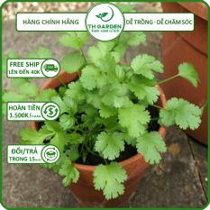 Hạt Giống Rau Mùi Tía ( Ngò Ta ) TH Garden – Gói 50gram – Hạt Giống Dễ Trồng Dễ Chăm Sóc, Thơm Ngon, Năng Suất Cao