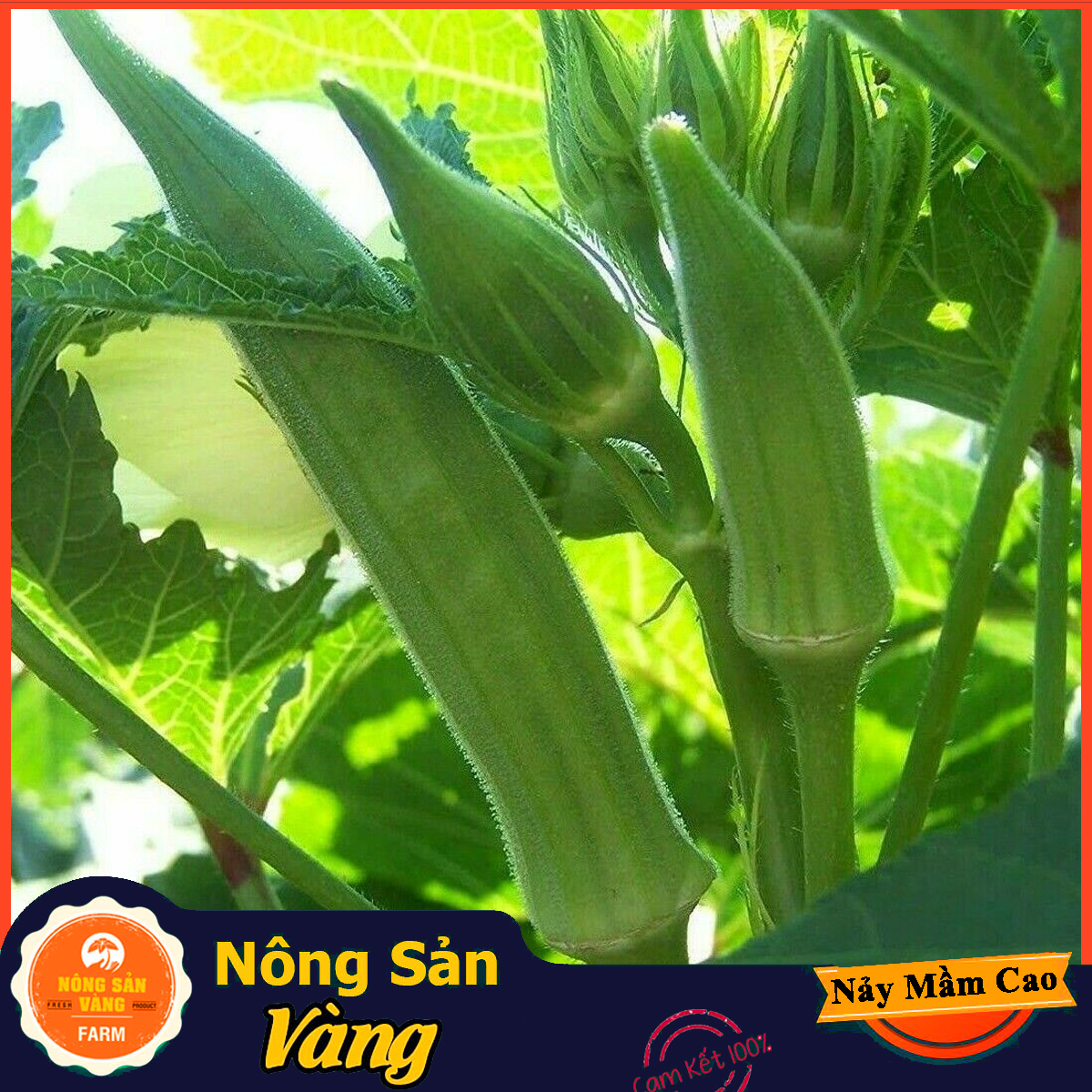 Hạt giống Đậu Bắp Cao Sản ( Gói 10 Gram ) - Nông Sản Vàng