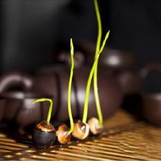 Hạt giống Sen Nhật mini – 10 hạt