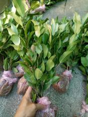 Cây giống hoa Trà My bầu đất đang nụ – Cây bonsai dễ trồng, hoa to, nở hoa Tết Nguyên Đán