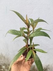 1 cây hoàn ngọc đỏ hỗ trợ chữa và phòng ngừa tiêu chảy, rất tốt cho hệ tiêu hoá cho người và các loại vật nuôi như thỏ /dê /bò /cá /heo