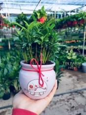 Vạn Niên Tùng cao 15cm, có chậu gốm như hình, được trồng lại làng hoa sa đéc là loại cây trong nhà