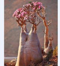 Hạt giống cây sứ sa mạc 1 gói 8 hạt _tặng kèm 3 viên nén kích thích ươm hạt