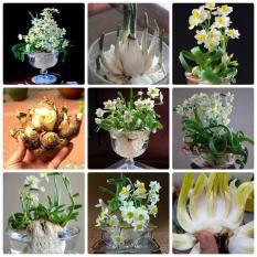 CGTT02- 1 củ giống hoa thủy tiên trồng tết củ to y hình