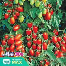 Hạt giống cà chua Cherry Thái Lan PN99 gói 100mg trái tròn dạng trứng màu đỏ bóng, thịt dày, ngọt
